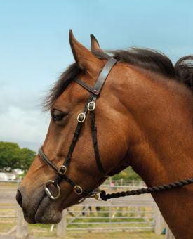 Windsor Equestrian In Hand Bridle